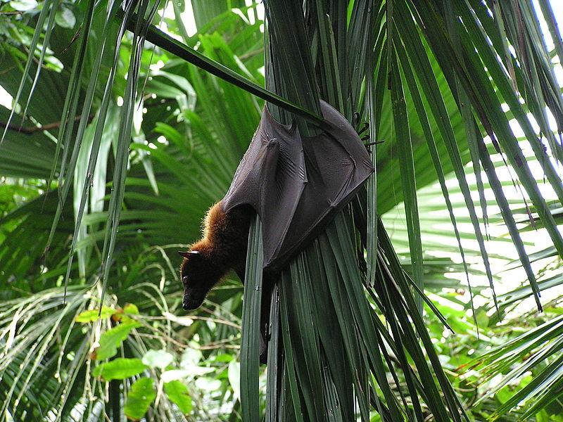 Raposa gigante voadora - Foto: Wikipedia