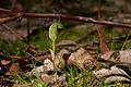 Pterostylis curta (Blunt Greenhood) (4873200210).jpg