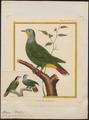 Ptilinopus melanocephalus - 1700-1880 - Print - Iconographia Zoologica - Special Collections University of Amsterdam - UBA01 IZ15600059.tif