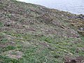 Puffin colony - geograph.org.uk - 363029.jpg