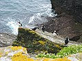 Puffins on Skellig Michael - geograph.org.uk - 886056.jpg