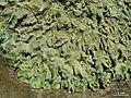 Punctelia missouriensis - Flickr - pellaea (2).jpg