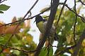 Purple-rumped Sunbird (Leptocoma zeylonica) at Madhurawada 04.jpg
