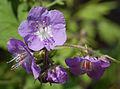 Purple Phacelia Phacelia bipinnatifida Flowers 2533px.jpg