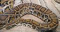 Python molurus bivittatus (1).jpg