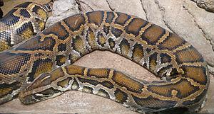 Python (genus) - 160 px