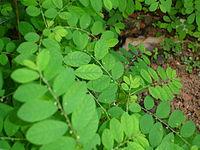 Quebra-Pedra. Phyllanthus niruri