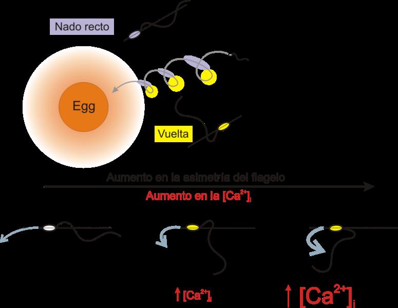 File:Quimiotaxis en espermatozoides marinos.png