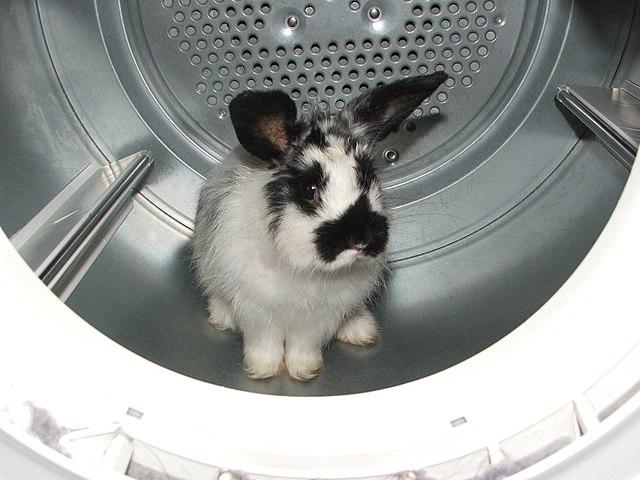Plik:Rabbit in the Dryer.jpg