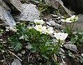 Ranunculus alpestris 070707a.jpg