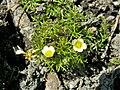 Ranunculus trichophyllus kz04.jpg