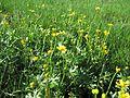 Ranunculus undosus habit4 NWP - Flickr - Macleay Grass Man.jpg