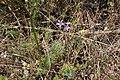 Rapunkelklocka (Campanula rapunculus)-2966 - Flickr - Ragnhild & Neil Crawford.jpg