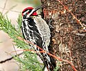 Red-Naped Sapsucker Seedskadee NWR (17848203713).jpg