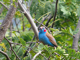 Red-cheeked cordon-bleu.jpg