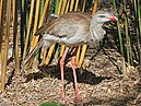 Red-legged Seriema RWD1.jpg