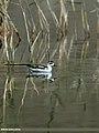 Red-necked Phalarope (Phalaropus lobatus) (23520567419).jpg