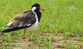 Red-wattled Lapwing 1.JPG