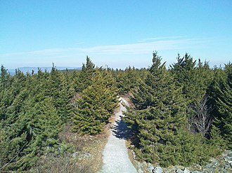 Picea rubens - Dense red spruce forest in its native habitat at the summit of Spruce Knob, West Virginia