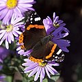Red Admiral 1 (3915653203).jpg
