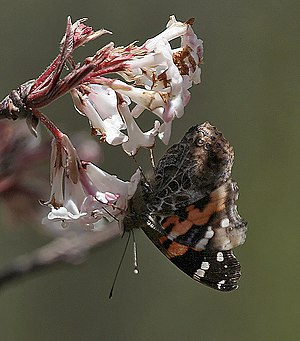 Vanessa indica - Image: Red Admiral I IMG 7046