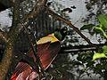 Red Bird-of-paradise Paradisaea rubra (6970131060).jpg