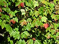 Red Maple (30649231392).jpg