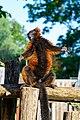 Red Ruffed Lemur (50350436026).jpg