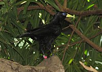 Red Rumped Cacique2.jpg