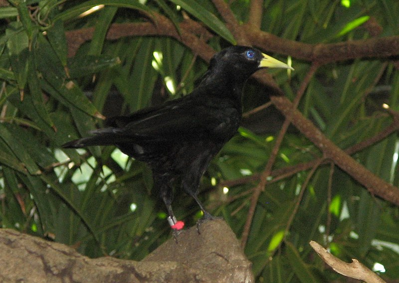 Ficheiro:Red Rumped Cacique2.jpg