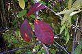 Red leaves 5109.jpg