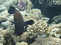 Red sea-reef 3265.jpg