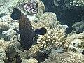 Red sea-reef 3265.jpg