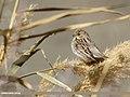 Reed Bunting (Emberiza schoeniclus) (51193113677).jpg