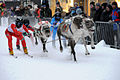 Reindeer race, Tromsø Norway.jpg