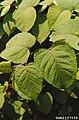Reynoutria japonica leaf (01).jpg