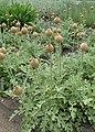 Rhaponticum pulchrum kz06.jpg