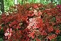 Rhododendron Beacon 2zz.jpg