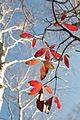 Rhododendron molle - Flickr - odako1 (8).jpg