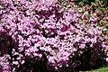Rhododendronpark Bremen 20090513 271.JPG