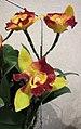 Rhyncattleanthe Qing Ming Beauty -香港沙田國蘭展 Shatin Orchid Show, Hong Kong- (24798681929).jpg