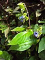 Rhynchoglossum obliquum 12.JPG