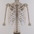Ribcage with both humerii.png