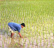 A farmer working in a rice paddy