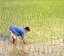 A farmer working in a rice paddy.