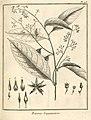 Rinorea guianensis Aublet 1775 pl 93.jpg