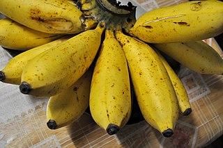 Latundan banana Type of banana originating in the Philippines