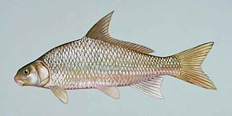 River carpsucker - Image: River carpsucker fish carpoides carpio (2)
