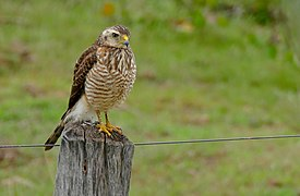 Roadside Hawk (Buteo magnirostris) immature (28816521090).jpg