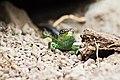 Romania lizard (15085194151).jpg